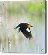 Yellow Headed Blackbird On The Wing Acrylic Print