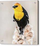 Yellow Headed Blackbird #4 Acrylic Print