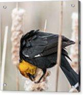 Yellow Headed Blackbird #7 Acrylic Print