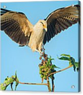 Yellow-headed Caracara Milvago Acrylic Print