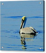 Yellow Headed Pelican Acrylic Print