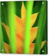 Yellow Heliconia - Tropical Hawaii - 957 Acrylic Print