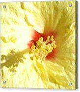 Yellow Hibiscus Close Up Acrylic Print