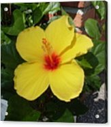 Yellow Hibiscus Shadows Acrylic Print