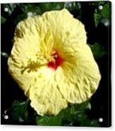 Yellow Hibiscus the Hawaiian state flower Acrylic Print