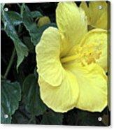 Yellow Hibiscus Watercolor Acrylic Print