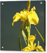 Yellow Iris 2 - Floral Acrylic Print