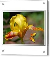 Yellow Iris And Butterfly Acrylic Print