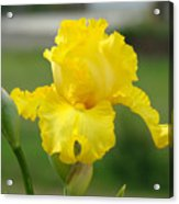 Yellow Iris Flowers Art Prints Cards Irises Summer Garden Landscape Acrylic Print