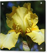 Yellow Iris Is For Passion Acrylic Print