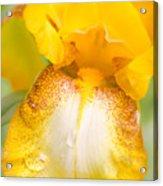Yellow Iris With Rain Drops Acrylic Print