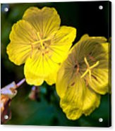 Yellow Is Gold Among The Flowers Acrylic Print
