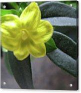 Yellow Jasmine Acrylic Print