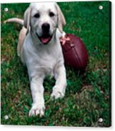 Yellow Labrador Retriever Puppy Acrylic Print