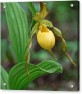 Yellow Lady Slipper Acrylic Print