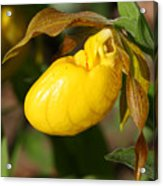 Yellow Lady's Slipper  Acrylic Print