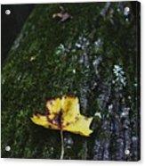 Yellow Leaf On Mossy Tree Acrylic Print