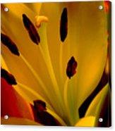 Yellow Lilly Acrylic Print