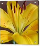 Yellow Lily 2 Acrylic Print