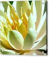 Yellow Lily Burst Acrylic Print
