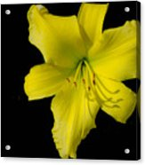 Yellow Lily Flower Black Background Acrylic Print