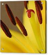 Yellow Lily Reach 2 Acrylic Print