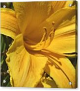 Yellow Lily Shines Brightly  Acrylic Print