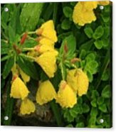 Yellow Lungwort 3 Acrylic Print