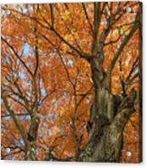 Yellow Maple Tree Acrylic Print