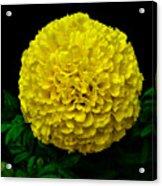 Yellow Marigold Flower On Black Background Acrylic Print