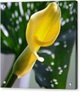 Yellow Mini Calla Lilies Acrylic Print