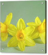 Yellow Mini Narcissus On Green 2 Acrylic Print