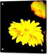 Yellow Mum On Black Backround Acrylic Print