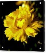 Yellow Mum With Raindrops Acrylic Print