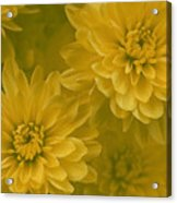 Yellow Mums Acrylic Print