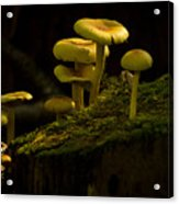 Yellow Mushrooms Acrylic Print