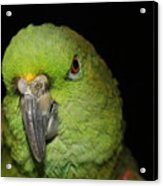 Yellow-naped Amazon Parrot Acrylic Print
