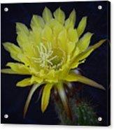 Yellow Night Blooming Cactus  Acrylic Print