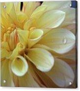 Yellow Petals With Raindrop Acrylic Print