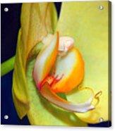 Yellow Phaelanopsis Acrylic Print