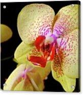 Yellow Phalaenopsis Orchid Acrylic Print