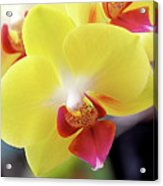 Yellow Phalaenopsis Orchids Acrylic Print by Rona Black