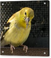 Lesser Female Goldfinch Having Lunch Acrylic Print