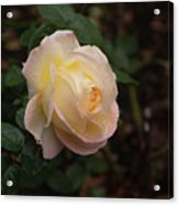 Yellow/pink Rose Acrylic Print