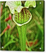 Yellow Pitcher Plant  In Huntington Botanical Gardens In San Marino-california  Acrylic Print