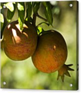 yellow Pomegranate Acrylic Print by Atul Daimari