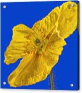 Yellow Poppy On Blue Background Acrylic Print