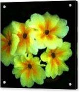 Yellow Primrose 5-25-09 Acrylic Print