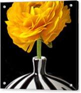 Yellow Ranunculus In Striped Vase Acrylic Print