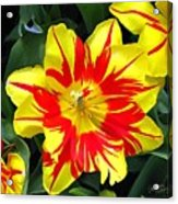 Yellow Red Flower Acrylic Print